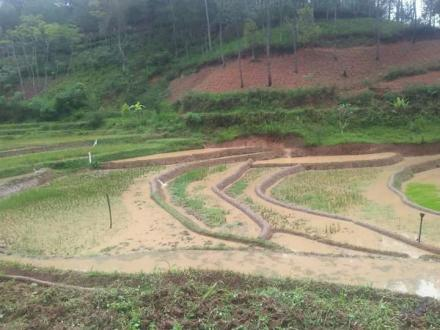 Musim Tanam Padi di Desa Puyung Lebih Lambat Dari Biasanya