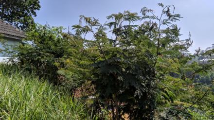 Pohon Kaliandra untuk Makanan Kambing